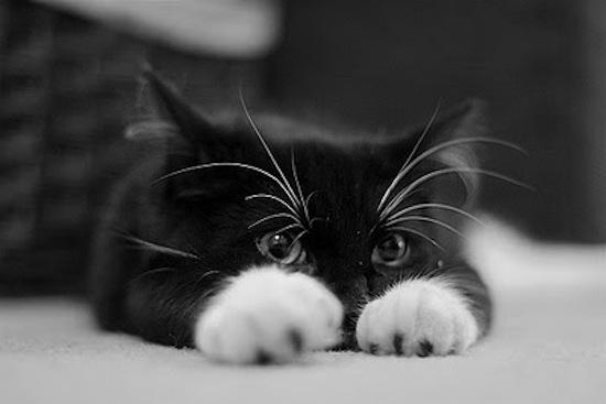 Black kitty white paws
